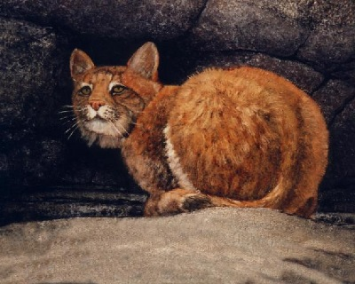 Bobcat on Ledge, painting by Frank Wilson